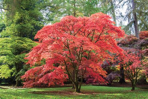 in the garden japanese maples crozet gazette