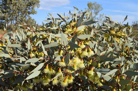 australian arid lands botanic garden australian arid lands botanic garden adelaide