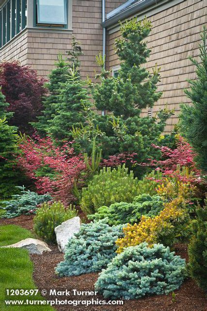maple tree evergreen conifers japanese maples abies cvs pinus cv acer palmatum cvs jim