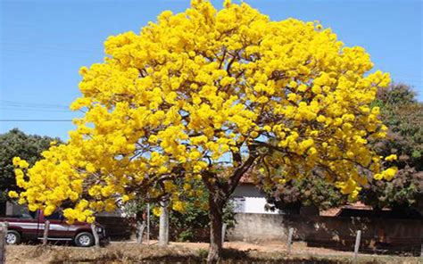 pink tree for sale tabebuia tree for sale fort myers