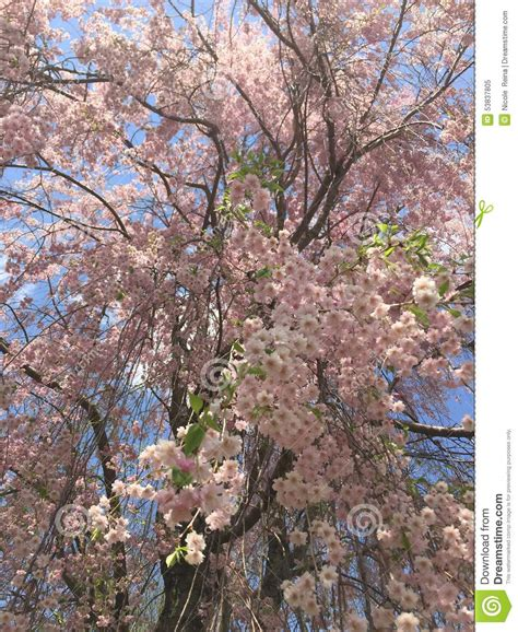 large sweeping weeping cherry blossom tree stock photo image 53837805