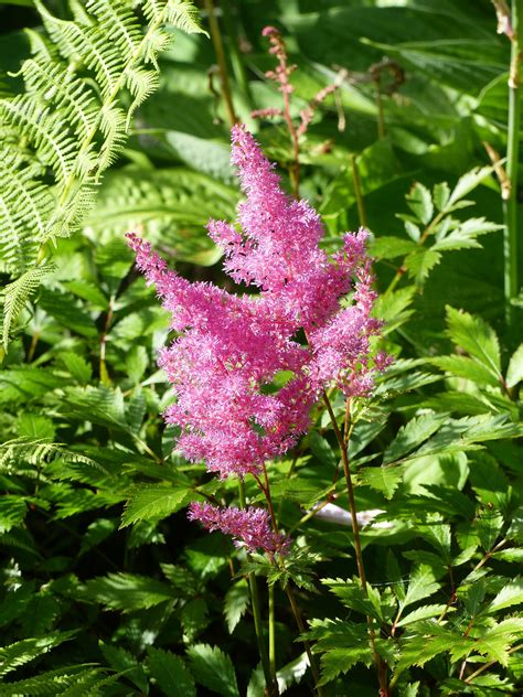 plant food that comes with flowers astilbe how to plant grow and care for astilbe flowers