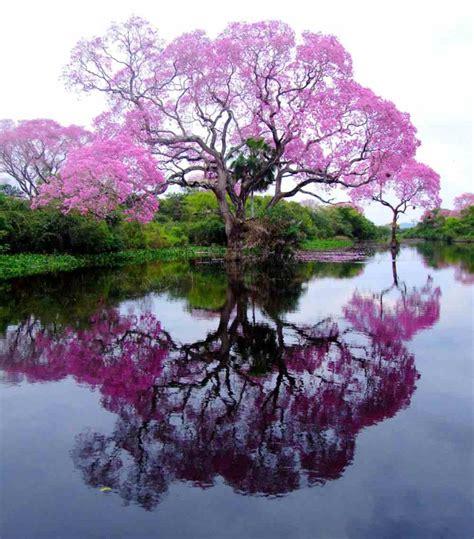 tree in brazil the pristine piuva tree of brazil