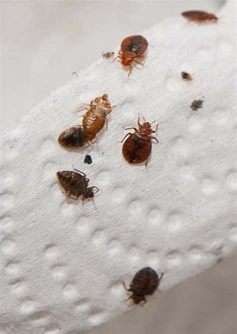 bead bugs what causes bed bugs bed bug guide