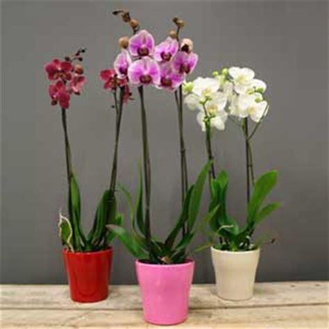 orchid 233 e phalaenopsis 2 tiges valentin pot c 233 ramique mon