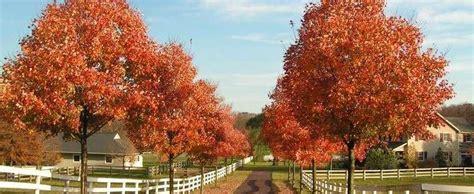 southern sugar maple florida maple acer barbatum