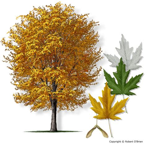 maple tree leaves 22 trees that can be tapped for sap and syrup survivalkit