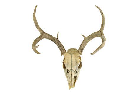 deer antler deer antlers for sale uk