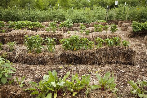 straw mulch vegetable garden straw bale gardening no bend no dig productive