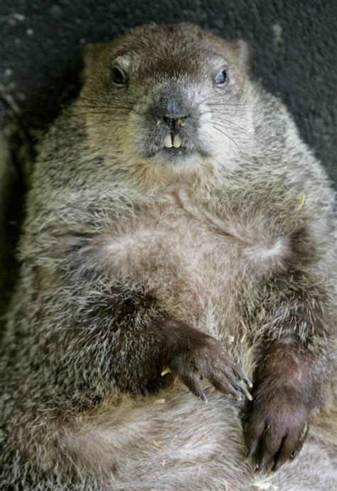 groundhog day america american groundhog day animals and