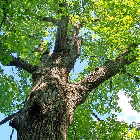 oak tree woodworking true wood beams oak wood beam