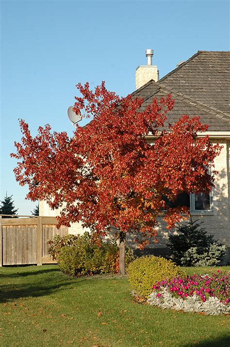 maple tree colorado tatarian maple acer tataricum in littleton colorado co at jared s nursery gift and garden