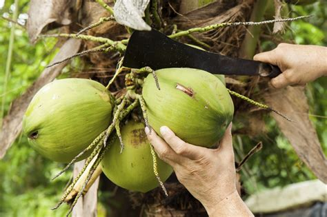 harvesting trees harvesting of coconut trees how to coconuts from trees