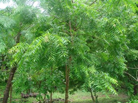 o tree in complete information about neem tree eagriculture