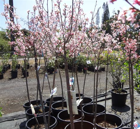 tips to grow and care ornamental cherry trees interior decorating colors interior decorating