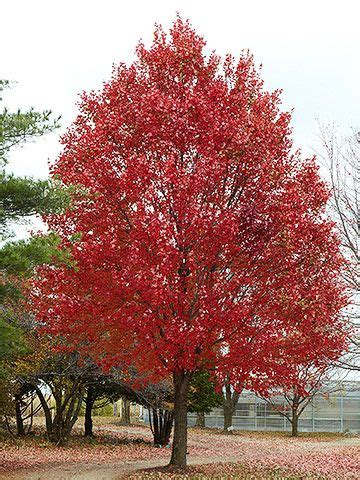 maple tree all year acer rubrum maple height 49 spread 39 10 year tree stands at around 20