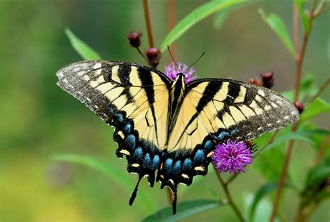 a butterfly butterfly animal