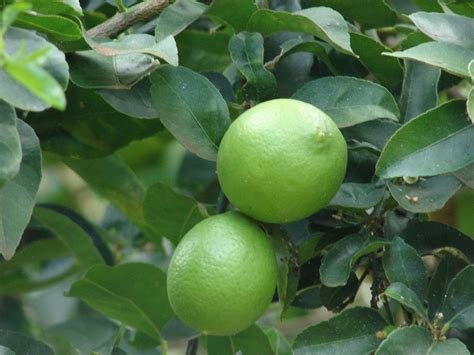 lime tree care of key lime trees how to grow mexican key lime trees