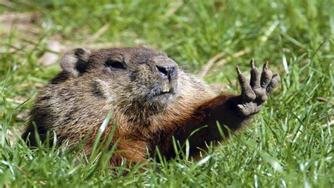 groundhog day jpg we need our own groundhog don t we 92 5 fm