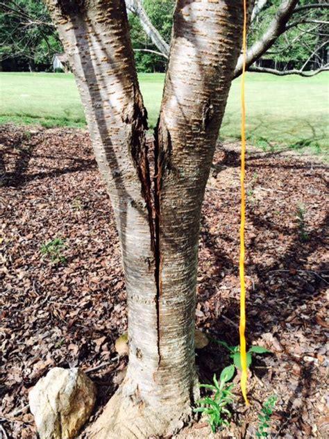 maple tree trunk splitting split trunk will it heal 171 walter reeves the gardener