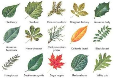 what type of tree lasts the leaves