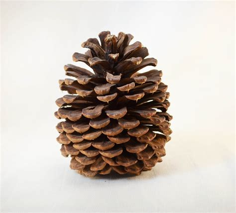 with pine cones ponderosa pine cone circa 1980s by vintageexpedition on etsy