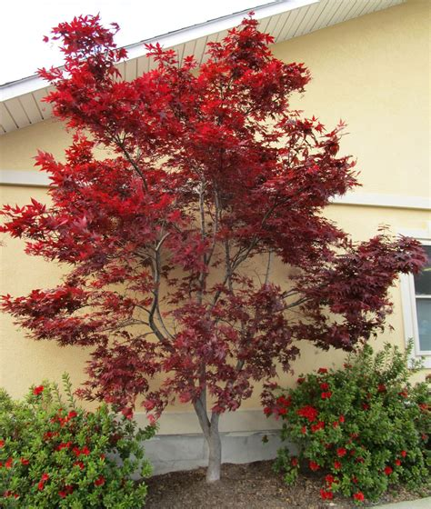 maple tree zone 10 zones 7 11 nine problem solving small trees for small spaces growing a green garden