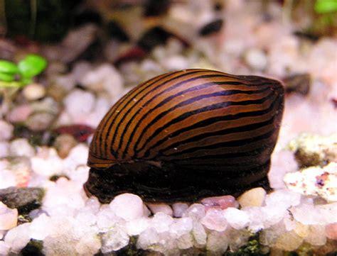 les escargots d aquarium les plus connu