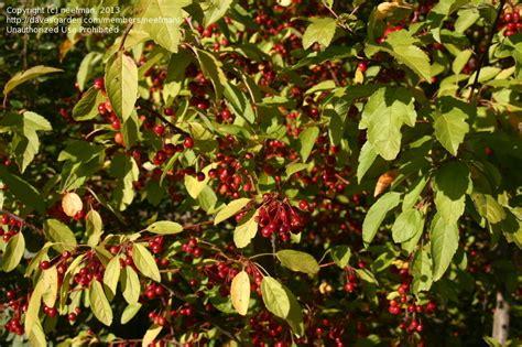 cherry tree identification plant identification closed cherry tree 2 by neefman