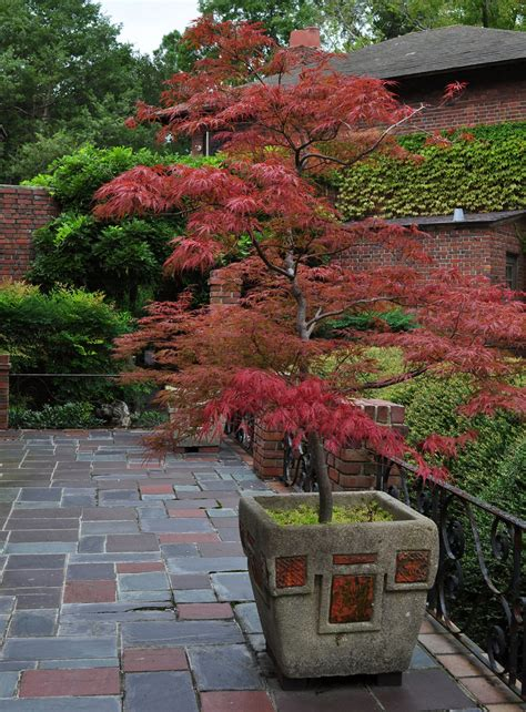 maple tree when to plant outdoor japanese maples pics