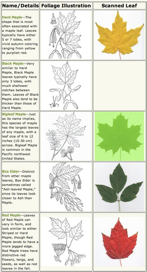 maple tree identification pictures maple trees identification and wildlife along the buffalo river nature