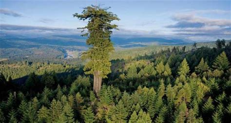 tallest tree in the world top 10 tallest trees in the world trees