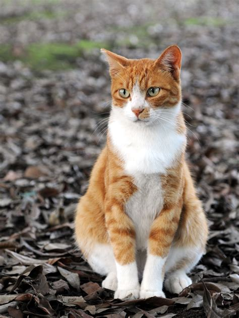 orange cat file orange tabby cat sitting on fallen leaves hisashi 01a