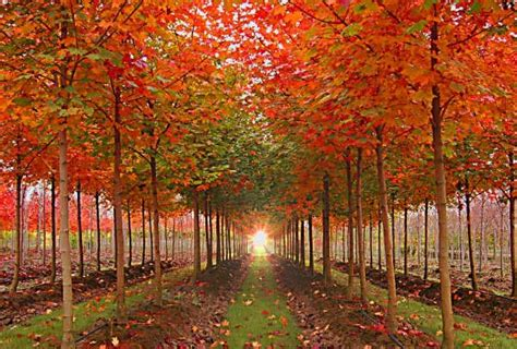 maple tree nursery tree profile for the sunset and pacific sunset maples forest nursery inc