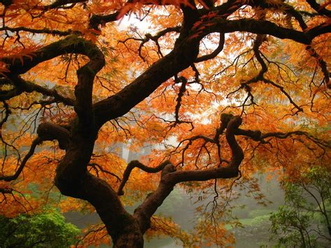 maple tree in fall elevation of nw skyline blvd w burnside rd portland or usa topographic map altitude map
