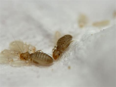 book lice pictures book louse museumbeasties