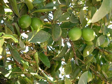 lime tree boyfriend the lime tree