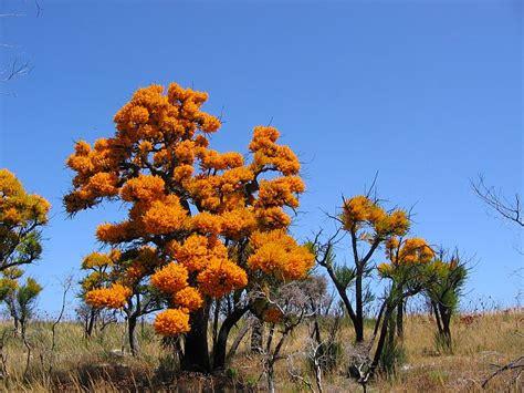 western australian tree esperance wildflowers nuytsia floribunda wa tree