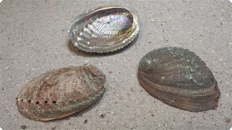 abalone shell abalone shells of many types and colors and even