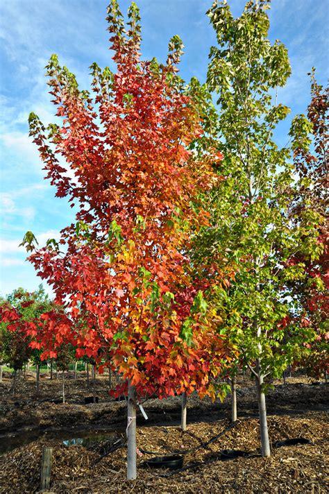 maple tree colorado maple october for sale in boulder colorado