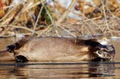 groundhog day xplor 1000 images about missouri mammals on