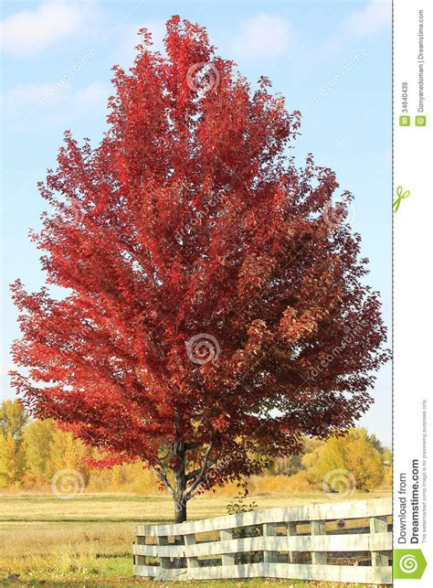 maple tree colorado maple tree with wooden fence royalty free stock images image 34640439