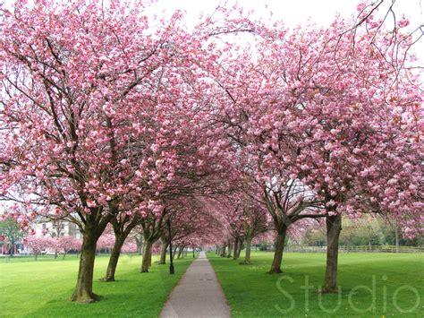 sirastudio cherry tree walk
