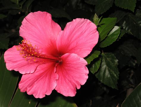 hibiscus flower hibiscus flowers photo 724918 fanpop