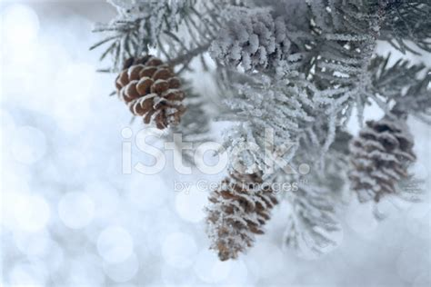snowy tree pictures snowy tree branch with cones stock photos