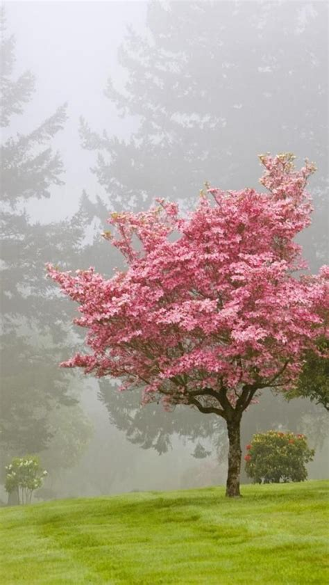 35 best images about dogwood tree s on blossoms and dogwood flowers