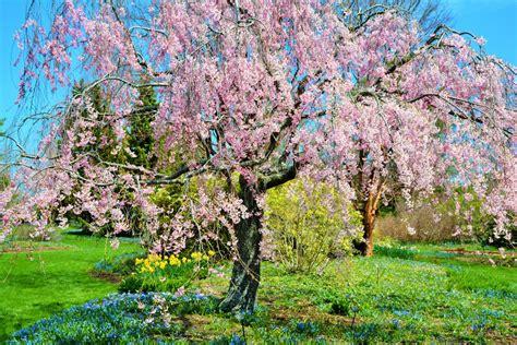 cherry tree weeping weeping cherry tree