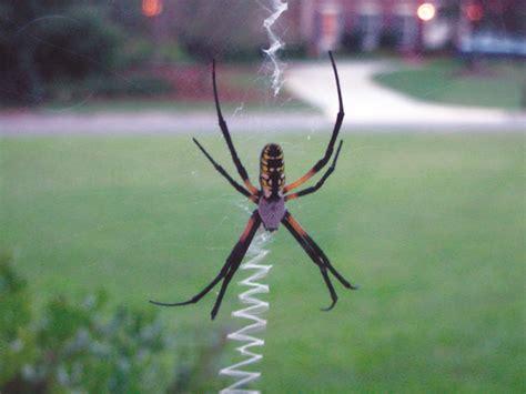 Garden Spider Photos Garden Spider Facts Get Rid Of Garden Spiders