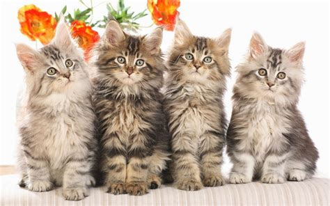 animals cat cat wallpapers and images wallpapers pictures photos