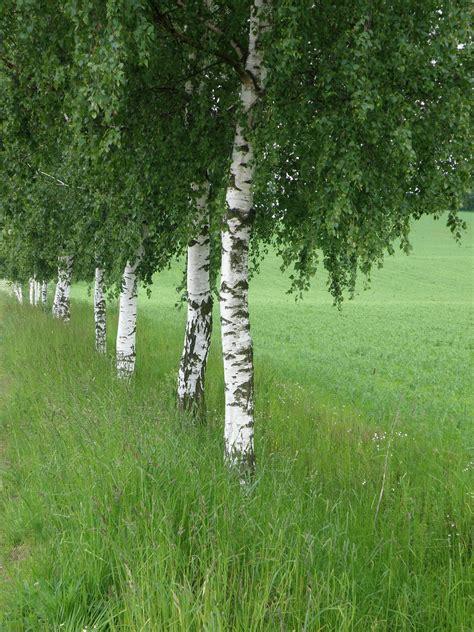 birch tree rubber st top 28 birch trees slideshow 758 22 birch trees in